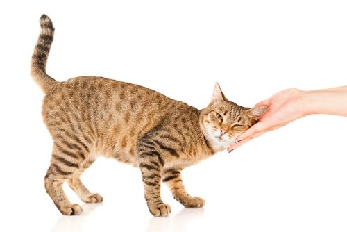 夢占い 猫 助ける なつく