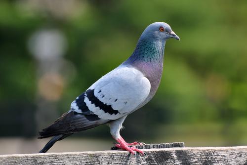 夢占い フン 鳥 カラス  鳩