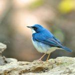 青い鳥・青い花についての夢占いについて