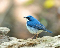 夢占い 青い 鳥 花
