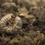 幼虫がさなぎになったり、幼虫を食べる夢占いについて