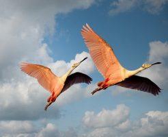 夢占い 鳥 つがい