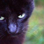 黒猫が家に入ったり、黒猫を撫でる二つの夢占いの意味とは?