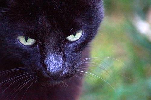 夢占い 黒猫 家 撫でる