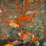 金魚が逃げてしまったり、金魚がたくさん出てくる二つの夢占いの意味とは?