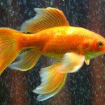 金魚や鯉が大きかったり巨大だったりする二つの夢占いについて