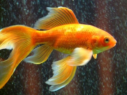 夢占い 金魚 鯉 大きい 巨大