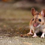ネズミが逃げる、ネズミに噛まれる夢占いの意味は?