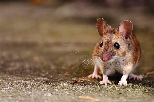 夢占い ネズミ 逃げる 噛まれる
