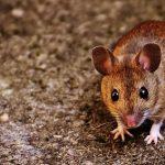 かわいいネズミを飼う、ネズミを助ける夢占いの意味は?