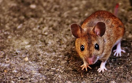 夢占い ネズミ かわいい 飼う 助ける