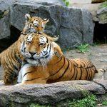 虎がじゃれる、虎が寝ている夢占いの意味は?