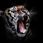 虎に追いかけられる、虎に噛まれる夢占いの意味は?