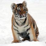 虎の赤ちゃんの夢占いの意味は?