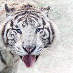 白い虎が現れる夢占いの意味は?