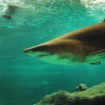 鮫に食べられる夢占いの意味とは!?