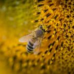 蜂から逃げる夢、追われる夢、食べる夢占いの意味とは!?