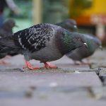 夢占いで鳩を捕まえたり、鳩につつかれたりすることの持つ意味は?
