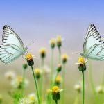 夢占いの、恋愛に関する『蝶』の夢。 《つがいの蝶は相性診断》