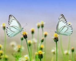 夢占い 蝶 つがい