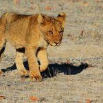 夢占い ライオン赤ちゃん 子供について
