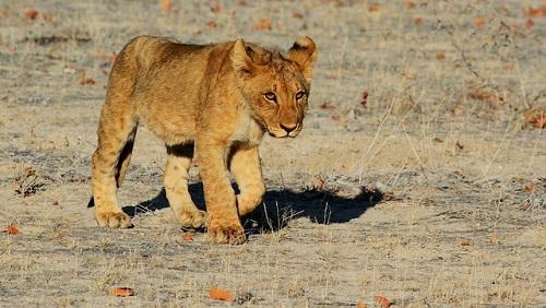 夢占い ライオン 赤ちゃん 子供