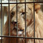 夢占い ライオン檻について