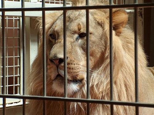 夢占い ライオン 檻
