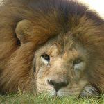 夢占い ライオン飼う 話すについて