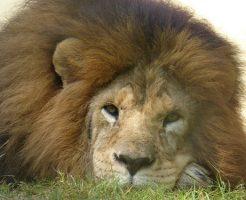 夢占い ライオン 飼う 話す