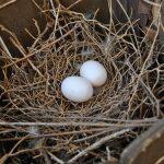 夢占いで鳩の卵や雛が出てくることの意味は?