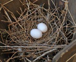 夢占い 鳩 卵 雛