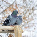 夢占いで鳩のつがいが飛び立つのとの持つ意味は?