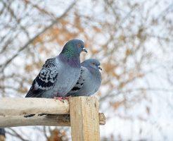 夢占い 鳩 つがい 飛び立つ