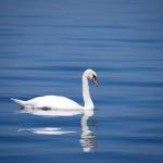 夢占いにおける湖と魚、白鳥は何を暗示しているの?