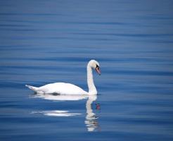 夢占い 湖 魚 白鳥