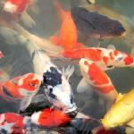池に金魚や鯉、亀など魚がたくさんいる夢占いの意味は?
