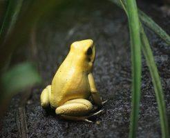 夢占い カエル 金色