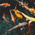 夢占いでの鯉の夢の意味!大量に鯉が跳ねる夢の意味とは?