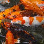 夢占いで鯉を食べる夢の意味と、鯉に噛まれる夢の意味とは?