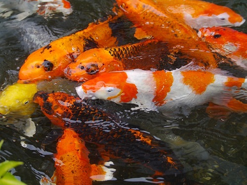 夢占い 鯉 食べる 噛まれる