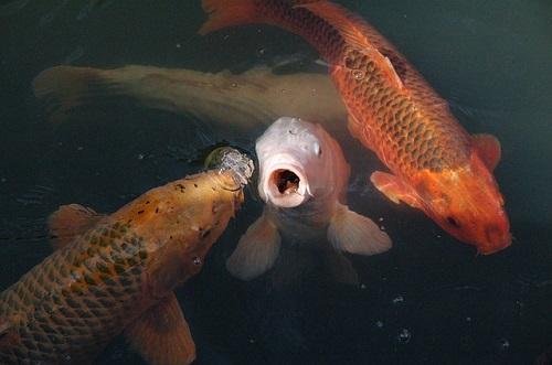 夢占い 鯉 泳ぐ 餌