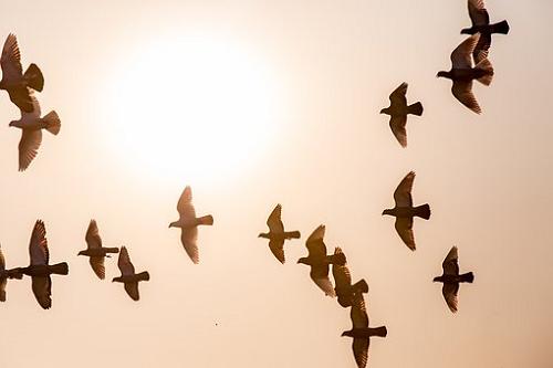 夢占い カラス 鳩 群れ