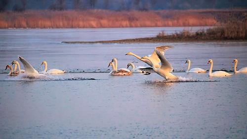 夢占い 白鳥 魚 鳥 群れ